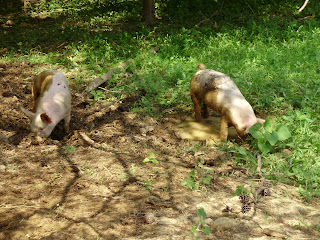 Feeder Pigs For Sale In Ohio