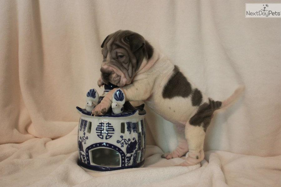 mini chinese shar pei puppies for sale