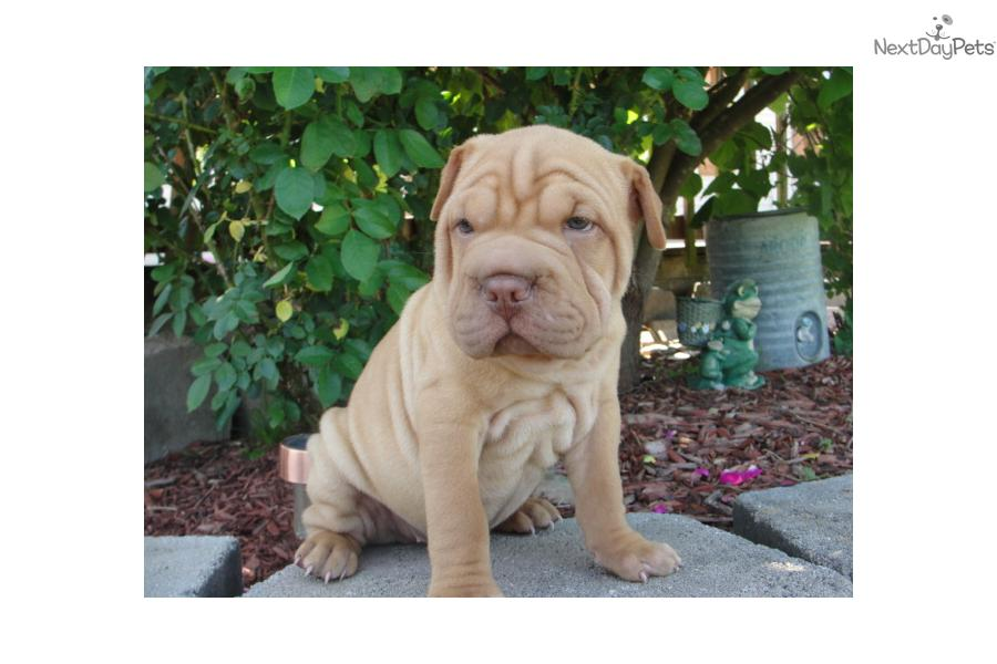 Miniature Chinese Shar Pei Puppies For Sale