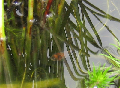Pregnant Feeder Goldfish