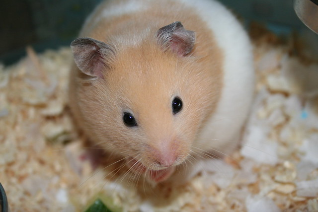 How to tell if your female Syrian hamster is pregnant