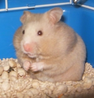 Syrian Hamster Pregnant